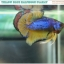 """""""คัดเกรด""""ปลากัดครีบสั้น-Halfmoon Plakats Fancy Green Mustard Grade A thumbnail 5"""