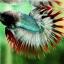 (ขายแล้วครับ)ปลากัดครีบยาวหางมงกุฎ-Crowntails06 thumbnail 4