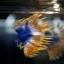 เพศผู้ปลากัดครีบยาว หางมงกุฏ ลายธงชาติ - Male CrownTails Premium Quality Grade thumbnail 2