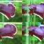 """(ขายแล้วครับ)""""คัดเกรด""""ปลากัดครีบสั้น-Halfmoon Plakats Lavender thumbnail 1"""