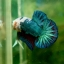 """""""คัดเกรด""""ปลากัดครีบสั้น-Halfmoon Plakats Fancy Dragon thumbnail 3"""