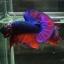 ปลากัดคัดเกรดครีบสั้น - Halfmoon Plakad Fancy Dragon (Red Blue) Quality Grade AAA+ thumbnail 2