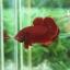 """(ขายแล้วครับ)""""คัดเกรด""""ปลากัดครีบสั้น-Halfmoon Plakats Super Red#1 Grade B+ thumbnail 7"""
