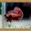 (ขายแล้วครับ)ปลากัดครีบสั้น-Halfmoon Plakats thumbnail 5