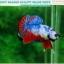 """(ขายแล้วครับ)""""คัดเกรด""""ปลากัดครีบสั้น-Halfmoon Plakats Fancy Dragon Nice colors thumbnail 5"""