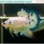 """""""คัดเกรด""""ปลากัดครีบสั้น-Halfmoon Plakats Fancy Marble thumbnail 3"""