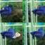 """(ขายแล้วครับ)""""คัดเกรด""""ปลากัดครีบสั้น-Halfmoon Plakats Super Fancy Blue thumbnail 1"""