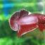 (ขายแล้วครับ)ปลากัดครีบสั้น - Halfmoon Plakats RED2 thumbnail 7