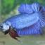 """(ขายแล้วครับ)""""คัดเกรด""""ปลากัดครีบสั้น-Halfmoon Plakats Fancy Blue thumbnail 3"""