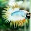 (ขายแล้วครับ)ปลากัดครีบยาวหางมงกุฎ-Crowntails01 thumbnail 1