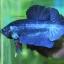 (ขายแล้วครับ)ปลากัดครีบสั้น - Halfmoon Plakats SUPER BLUE thumbnail 3