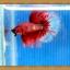 ปลากัดครีบยาว - Halfmoon thumbnail 8
