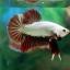 """(ขายแล้วครับ)""""คัดเกรด""""ปลากัดครีบสั้น-Halfmoon Plakats Red Dragon thumbnail 4"""