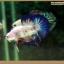 คัดเกรดปลากัดครีบสั้น-Halfmoon Plakat Fancy Blue Dragon and Marble thumbnail 5