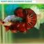 """""""คัดเกรด""""ปลากัดครีบสั้น-Halfmoon Plakats Fancy Dragon Devil Short Body thumbnail 6"""