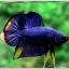 คัดเกรดปลากัดครีบสั้น-Halfmoon Plakad Fancy Blue Mastrad thumbnail 4