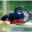 Hi - Premium Grade AAA+ คัดเกรดปลากัดครีบสั้น-Over Tails Halfmoon Plakad Fancy Blue Orange thumbnail 4