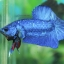 (ขายแล้วครับ)ปลากัดครีบสั้น - Halfmoon Plakats SUPER BLUE thumbnail 4