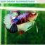 """(ขายแล้วครับ)""""คัดเกรดประกวด""""ปลากัดครีบสั้น-Halfmoon Plakats Fancy Dragon Koi Quality Grade thumbnail 2"""