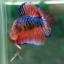 (ขายแล้วครับ)Fancy Orange Over ปลากัดครีบสั้น-Halfmoon Plakats thumbnail 8