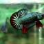 """(ขายแล้วครับ)""""คัดเกรด""""ปลากัดครีบสั้น-Halfmoon Plakats Fancy Dragon Green Red thumbnail 4"""