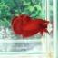 """(ขายแล้วครับ)""""คัดเกรด""""ปลากัดครีบสั้น-Halfmoon Plakats Super Red#2 Grade B+ thumbnail 6"""