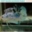 """(ขายแล้ว)""""คัดเกรด""""ปลากัดครีบสั้น-Halfmoon Plakats Fancy Dragon Marble thumbnail 11"""