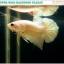 """(ขายแล้วครับ)""""คัดเกรด""""ปลากัดครีบสั้น-Halfmoon Plakats Super Gold thumbnail 4"""