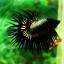 (ขายแล้วครับ)ปลากัดครีบยาวหางมงกุฎ-Crowntails Black Copper Quality Grade thumbnail 7