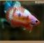ปลากัดครีบสั้นหางพระจันทร์ครึ่งดวง - Halfmoon Plakat Fancy Orange and Pink thumbnail 4