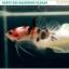 """""""คัดเกรด""""ปลากัดครีบสั้น-Halfmoon Plakats Fancy Koi thumbnail 1"""