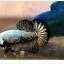 """(ขายแล้วครับ)""""คัดเกรด""""ปลากัดครีบสั้น-Halfmoon Plakats Black Dragon Samuri thumbnail 4"""