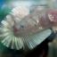 """(ขายแล้วครับ)""""คัดเกรด""""ปลากัดครีบสั้น-Halfmoon Plakats Fancy Koi thumbnail 6"""