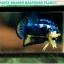 (ขายแล้วครับ)ปลากัดครีบสั้น-Halfmoon Plakat Fancy Blue Dragon Good Grade thumbnail 2
