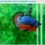 """(ขายแล้วครับ)""""คัดเกรดประกวด""""ปลากัดครีบสั้น-Over Halfmoon Plakats Fancy Dragon Blue Orange Quality Grade thumbnail 5"""