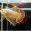 """(ขายแล้วครับ)""""คัดเกรด""""ปลากัดครีบสั้น-Halfmoon Plakats Gold Dragon 003 thumbnail 6"""