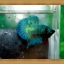 ปลากัดครีบสั้น-Super Green Halfmoon Plakats thumbnail 2