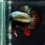 """(ขายแล้วครับ)""""คัดเกรด""""ปลากัดครีบสั้น-Halfmoon Plakats Red Copper thumbnail 5"""