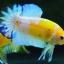 คัดเกรดปลากัดครีบสั้น-Halfmoon Plakad Fancy Dragon Yellow Body Hi Quality Grade thumbnail 6