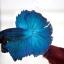 ปลากัดครีบยาวหางพระจันทร์ครึ่งดวง - Halfmoon Premium Quality Grade Super BlueGreen thumbnail 4