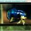 (ขายแล้วครับ)ปลากัดครีบสั้น-Halfmoon Plakat Fancy Blue Dragon Good Grade thumbnail 3