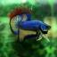 """(ขายแล้วครับ)""""คัดเกรด""""ปลากัดครีบสั้น-Halfmoon Plakats Fancy Super Grade thumbnail 10"""