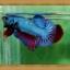 ปลากัดครีบสั้น - Fancy Halfmoon Plakats thumbnail 6