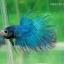 (ขายแล้วครับ)ปลากัด ครีบยาว หางมงกุฎ สีเขียว - Crowntails (ขายเป็นคู่) thumbnail 2