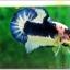 Hi - Premium Grade AAA+ คัดเกรดปลากัดครีบสั้น-Over Tails Halfmoon Plakad Fancy Blue Marble thumbnail 1