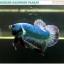 """(ขายแล้วครับ)""""คัดเกรด""""ปลากัดครีบสั้น-Halfmoon Plakats Grizzled thumbnail 7"""
