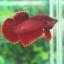 """(ขายแล้วครับ)""""คัดเกรด""""ปลากัดครีบสั้น - Halfmoon Plakats SUPER RED02 thumbnail 3"""
