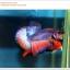คัดเกรดปลากัดครีบสั้น-Halfmoon Plakat Lavender Fancy thumbnail 4
