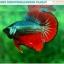 """(ขายแล้วครับ)""""คัดเกรดประกวด""""ปลากัดครีบสั้น-Over Halfmoon Plakats Fancy Dragon Green Red Quality Grade thumbnail 1"""