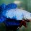 """(ขายแล้วครับ)""""คัดเกรด""""ปลากัดครีบสั้น-Halfmoon Plakats Fancy Dragon Blue thumbnail 3"""